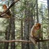 Cedar-forest-in-azrou-morocco-1024×768