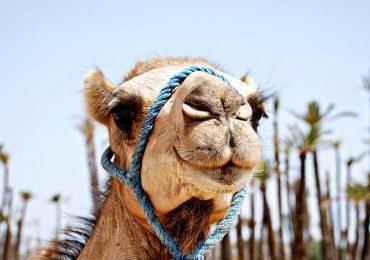 camel ride 12 (Copier)